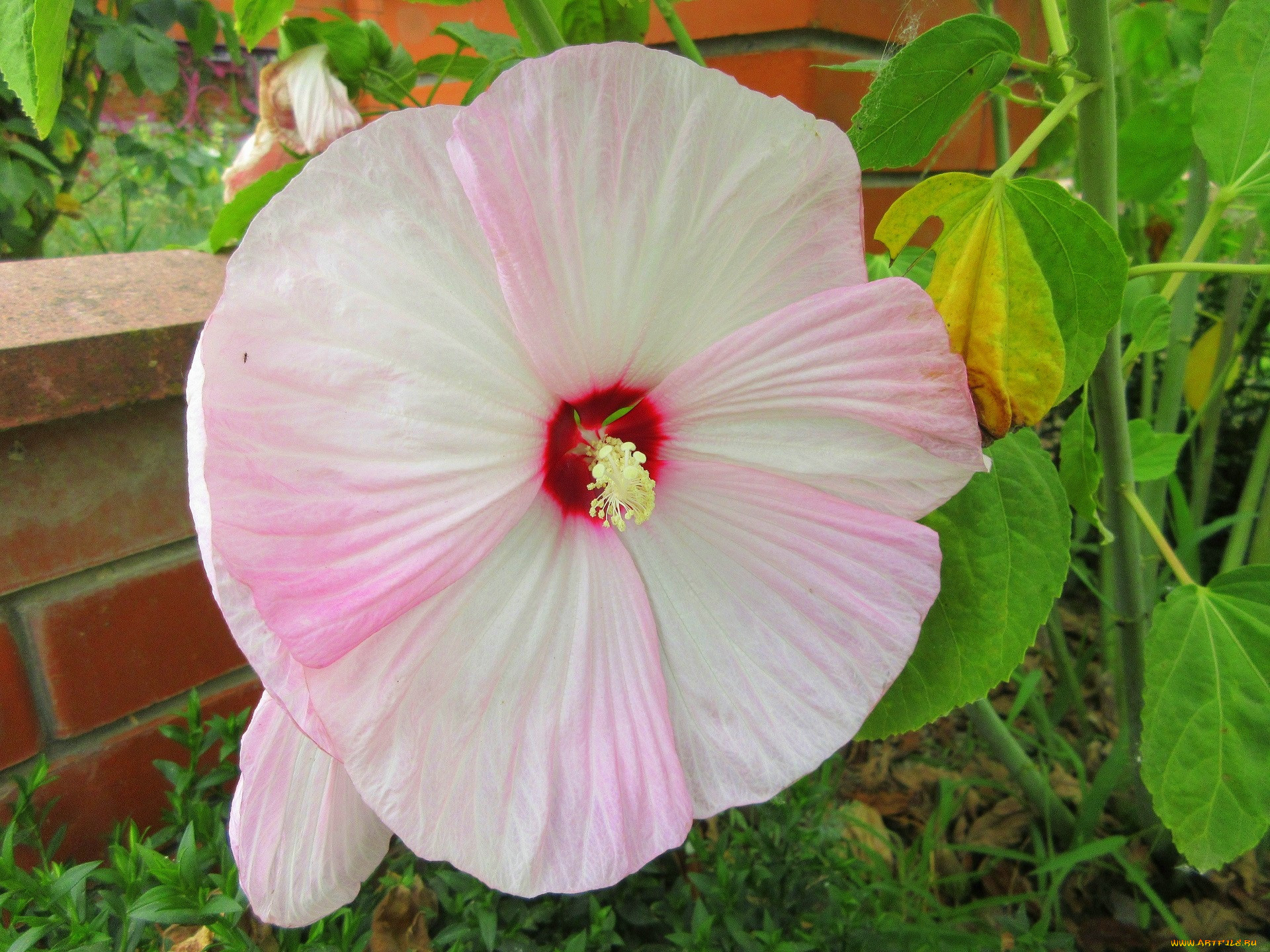 Мальва цветок фото описание